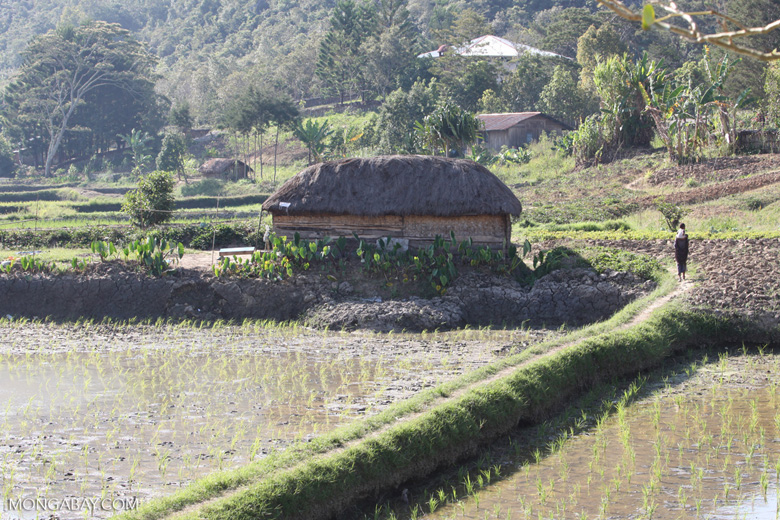 Rice fields and a traditional hut in the highlands of New Guinea