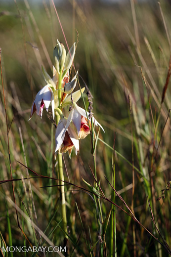 White and pink orchids in the highlands of New Guinea