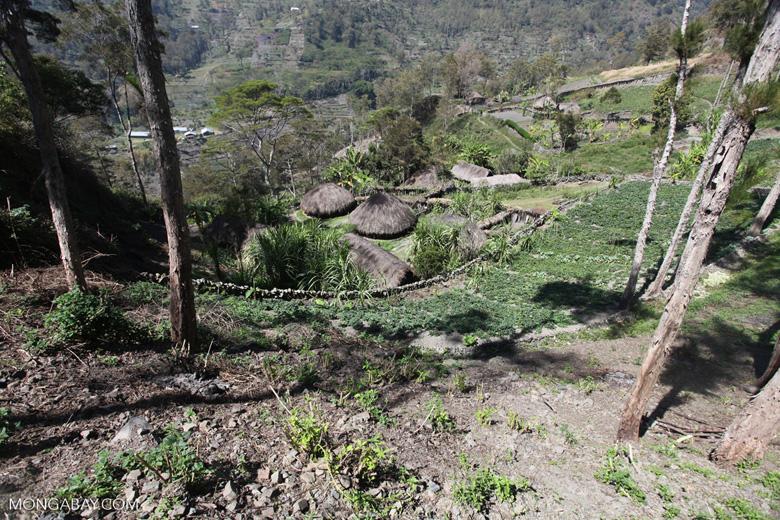 Dani village in New Guinea