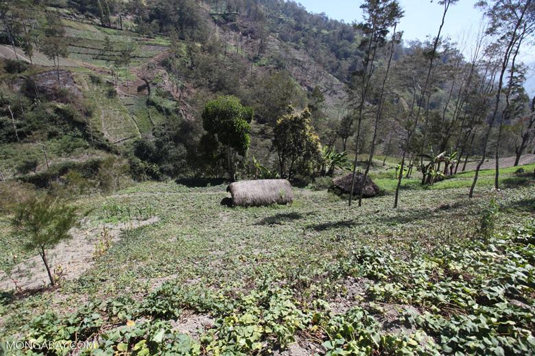 Grass huts among sweet potato fields