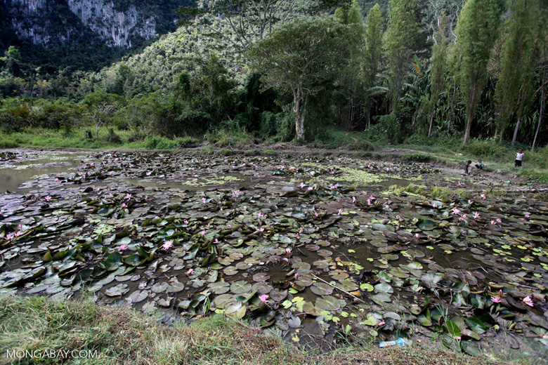 Pink water lotus in New Guinea