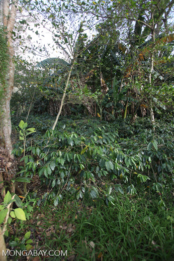 Shade-grown coffee in New Guinea