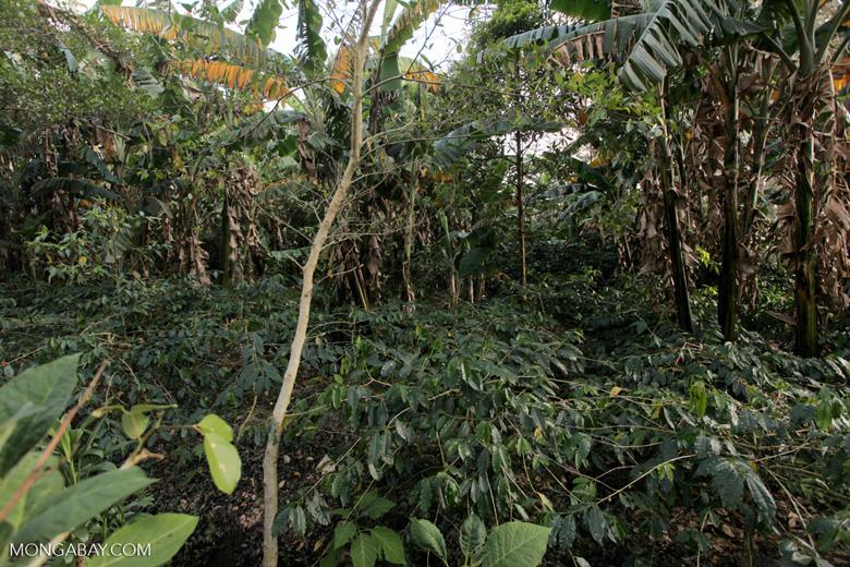 Shade-grown coffee in New Guinea