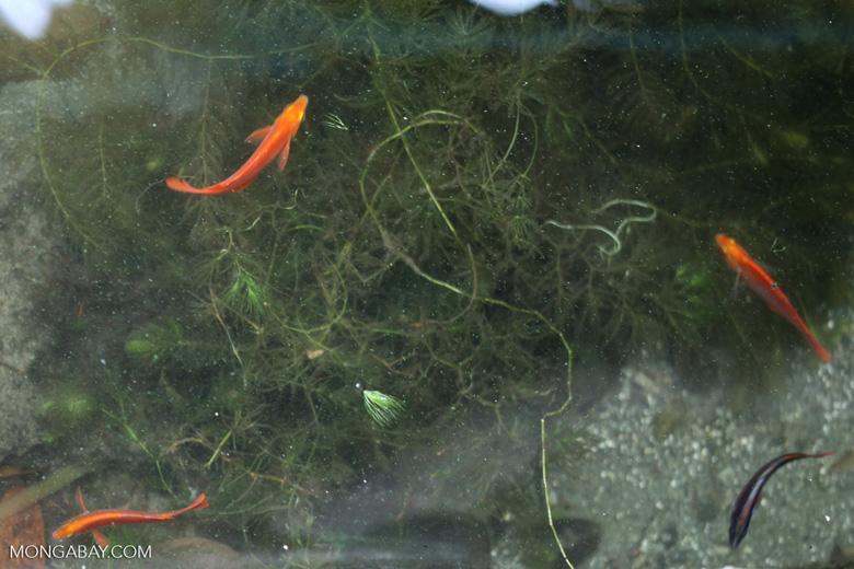 Lake Sentani Red Rainbowfish (Glossolepis incisus) in its natural habitat