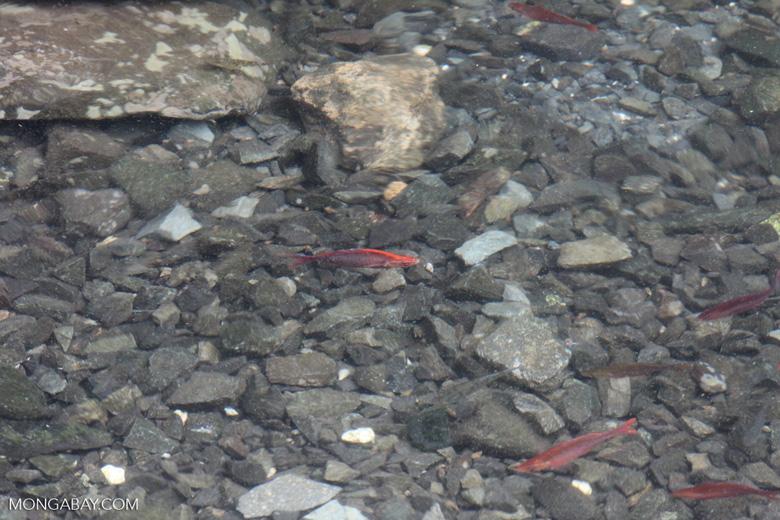 Red Rainbowfish (Glossolepis incisus) in its natural habitat: Lake Sentani