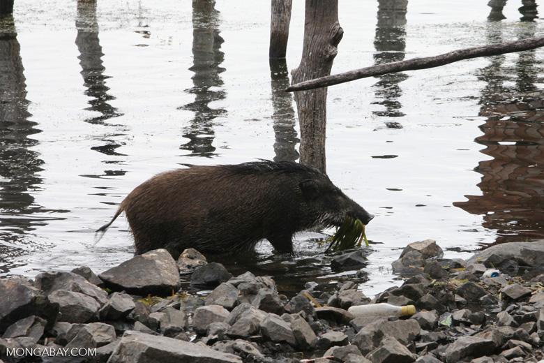 Pig eating lake weeds