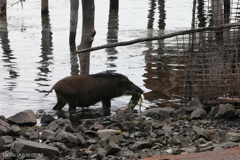 Pig eating lake reeds