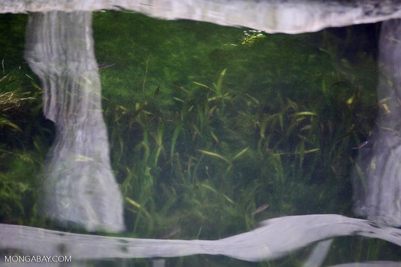 Red Rainbowfish biotope