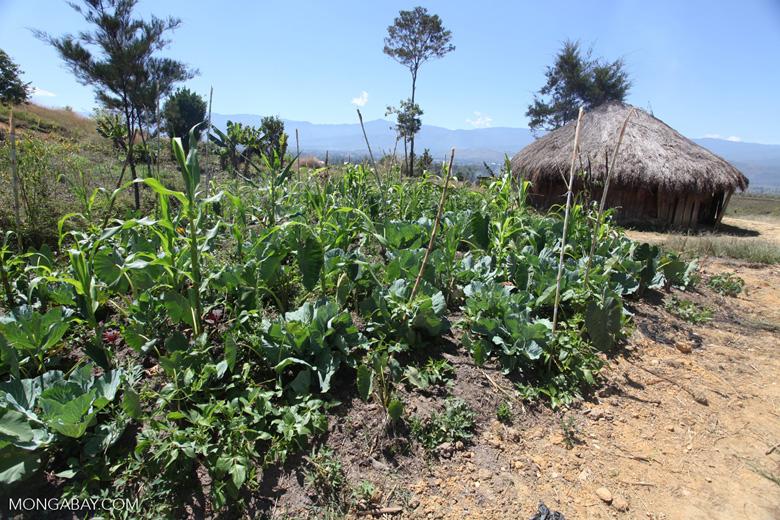 Vegetable garden in a Lani village