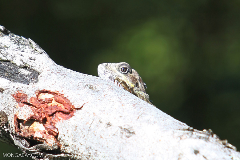 Agamid lizard (family Agamidae), probably an anglehead (Gonocephalus), in the highlands of New Guinea
