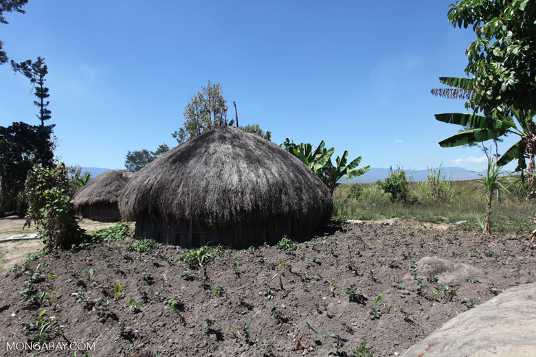 Freshly planted sweet potatoes in a Lani village