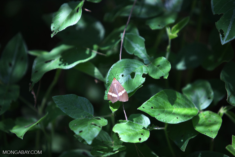 Moth with an orange head