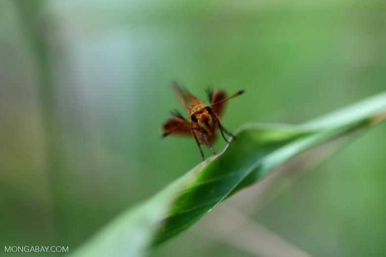 Skipper butterfly in New Guinea