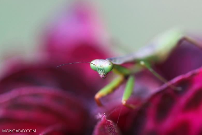 Praying mantis on a pink leaf