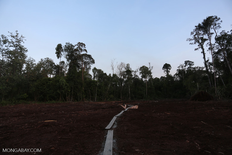 Peat forest cut down by the Indonesian government [riau_0184]