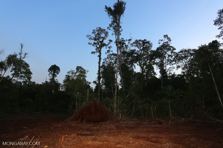 Peat forest cut down by the Indonesian government