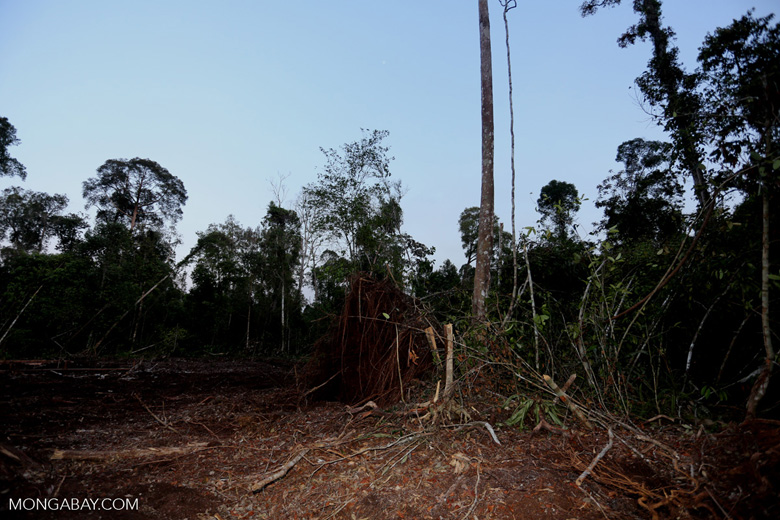 Peat forest cut down by the Indonesian government [riau_0201]