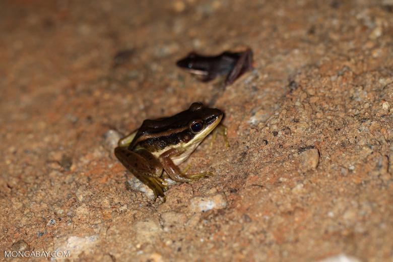 Frog [riau_0287]