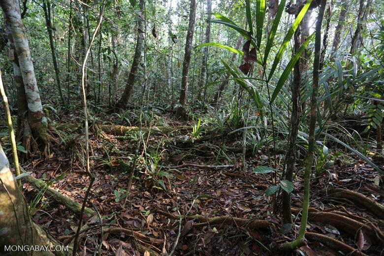 Peat forest in Riau [riau_0342]