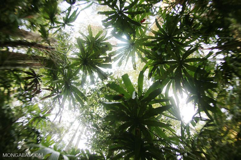 Peat forest in Riau [riau_0356]
