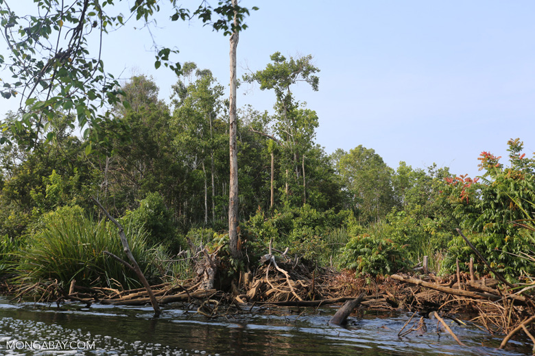 Peat forest clearing