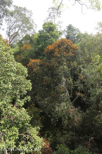 Rainforest canopy in Sumatra [riau_0461]