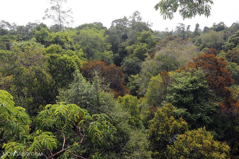 Rainforest canopy in Sumatra [riau_0467]