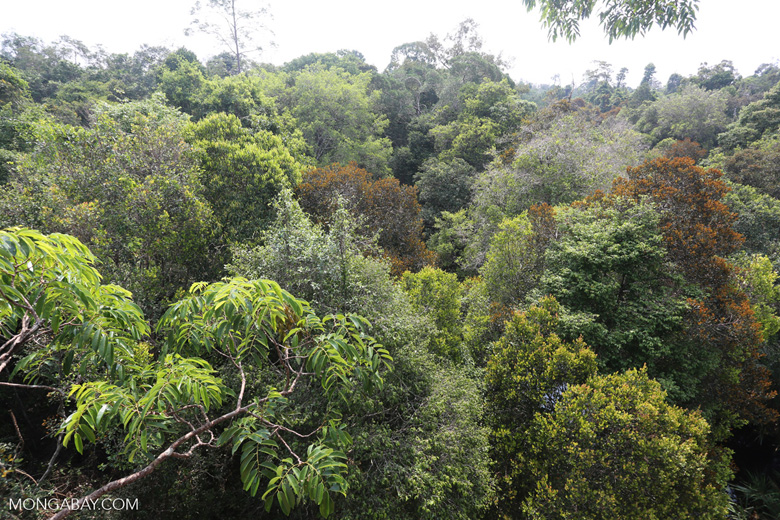Rainforest canopy in Sumatra [riau_0470]