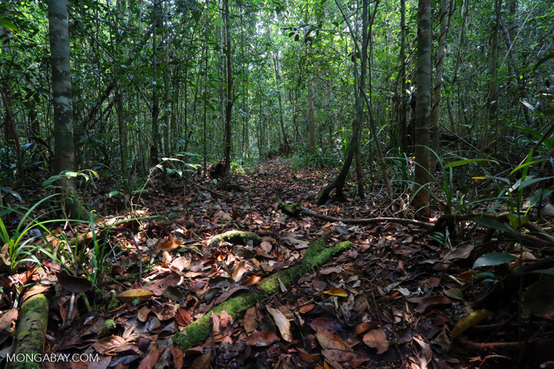 Peat forest in Riau [riau_0500]