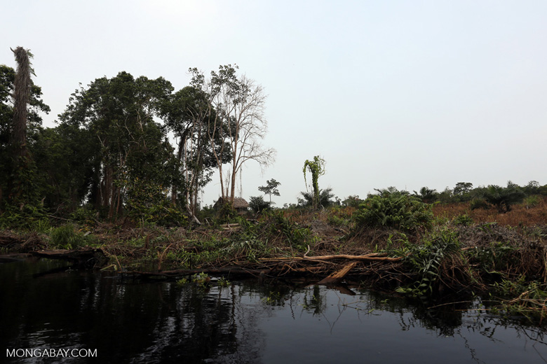 Community peat forest clearing for palm oil