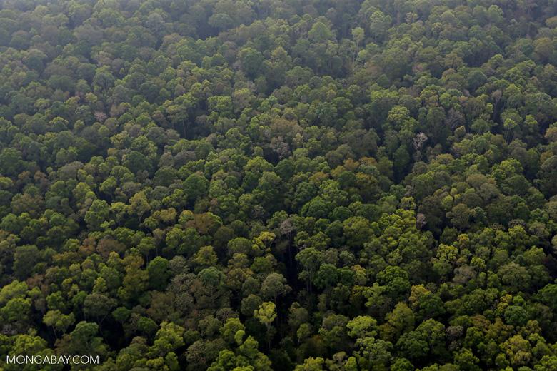 Peat forest in Giam Siak Kecil