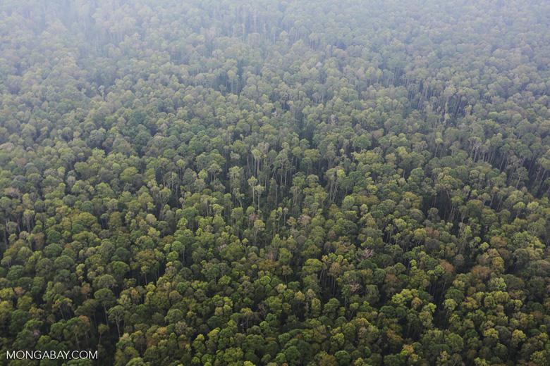 Peat forest in Giam Siak Kecil [riau_0788]