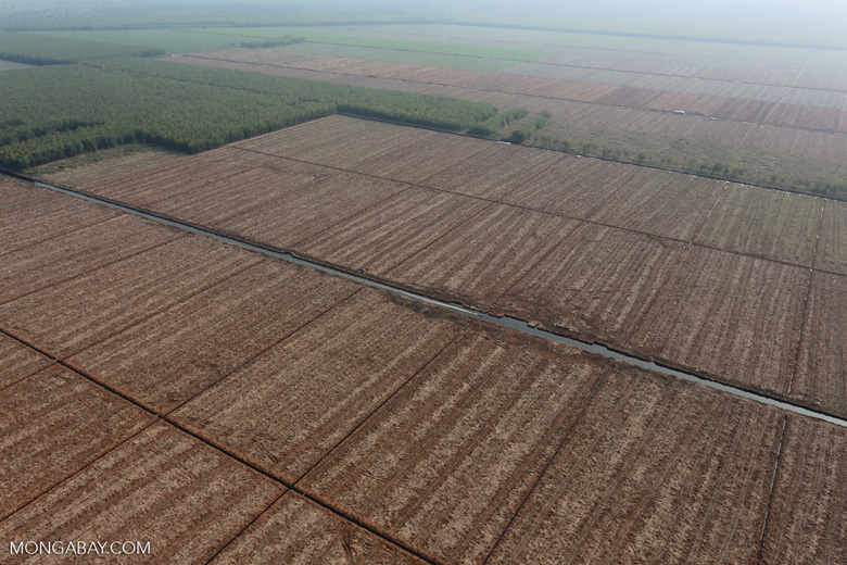 Acacia plantation in Riau