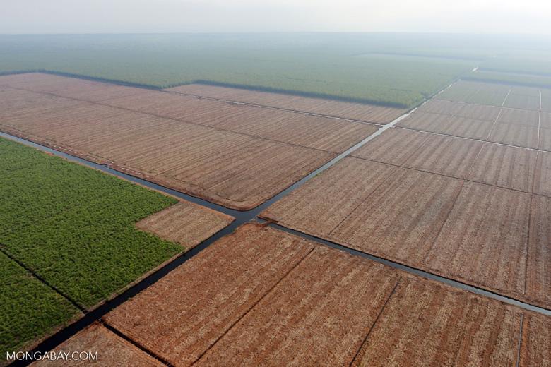 Acacia plantation in Riau [riau_0943]