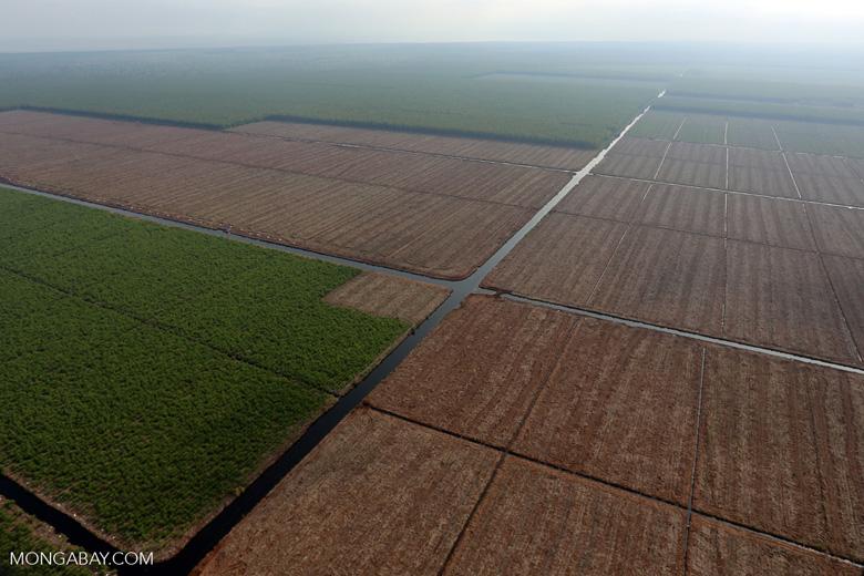Acacia plantation in Riau [riau_0948]