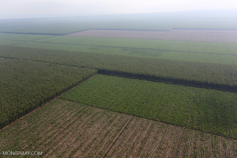 Acacia plantation in Riau [riau_0963]