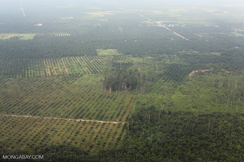 Peat forest conversion for oil palm