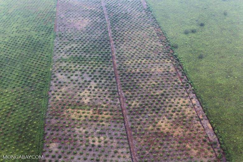 Deforestation for oil palm [riau_1163]