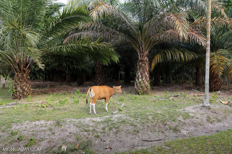 Three of the world's largest drivers of deforestation: cattle, palm oil, rubber [riau_1301]