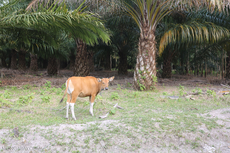 Three of the world's largest drivers of deforestation: cattle, palm oil, rubber [riau_1304]