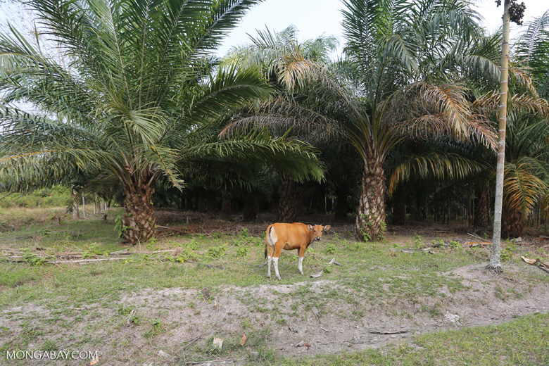 Three of the world's largest drivers of deforestation: cattle, palm oil, rubber [riau_1307]