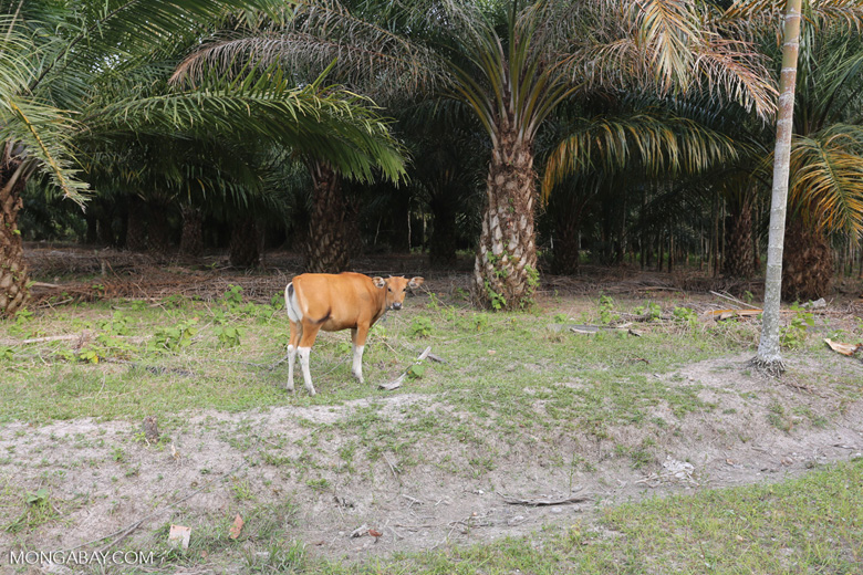 Three of the world's largest drivers of deforestation: cattle, palm oil, rubber [riau_1309]