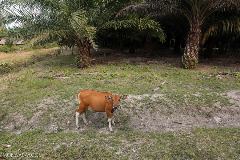 Cow and oil palm [riau_1312]