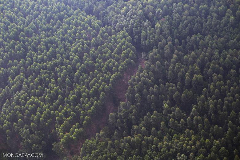 Acacia plantation [riau_1362]