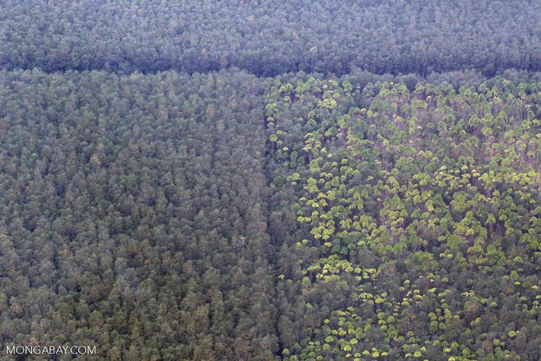 Acacia plantation [riau_1377]