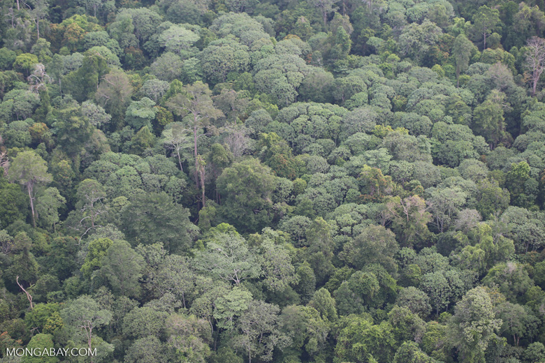 Rainforest canopy in Sumatra [riau_1488]