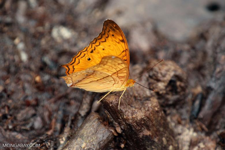 Orange butterfly [riau_1520]