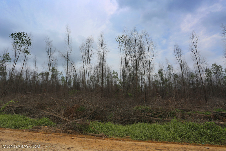 An acacia plantation burned to start an oil palm plantation within an APP supplier concession in Riau. Photo by Rhett A. Butler