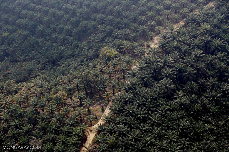 Oil palm plantation in Riau