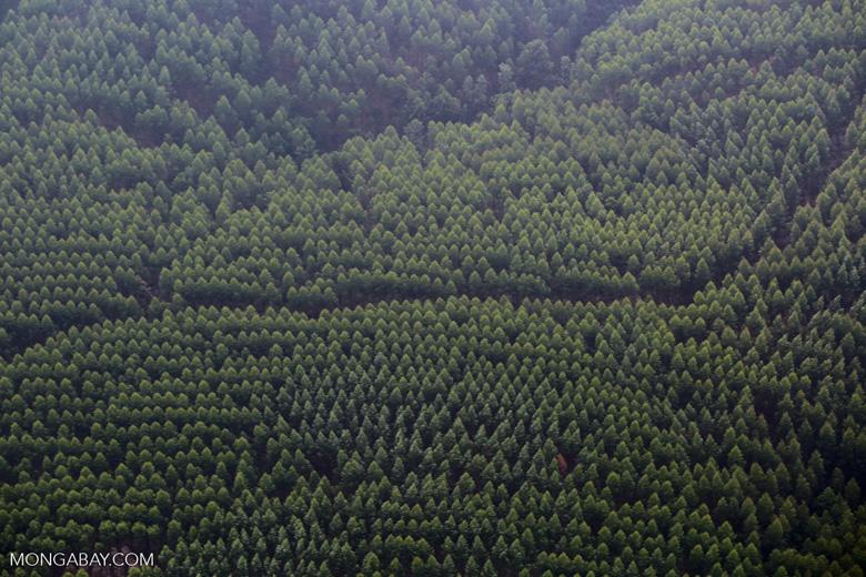 Acacia plantation [riau_5018]